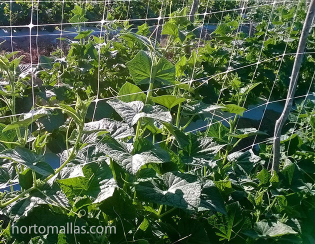 Cucumber Photo Gallery Hortomallas Supporting Your Crop